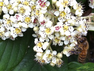 Honeybee foraging from Cotoneaster