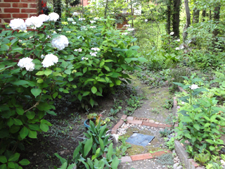 Hydrangeas Along Path