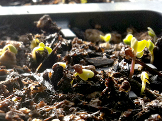 Fall Vegetable Seed Sprouts
