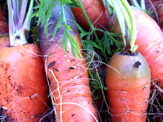 Carrot Crop