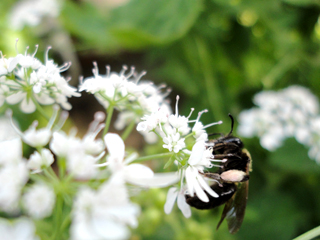 Pollen laden Bee sipping nectar from Cilantro Flowers