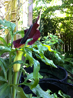 Dracunculus in Full Bloom Beside the Composters