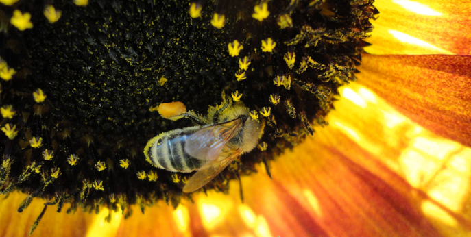 Honeybee on Sunflower Feature