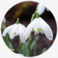 Learn more about snowdrops like these with our garden coaching program
