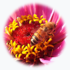 Honeybee on Zinnia Event Circle
