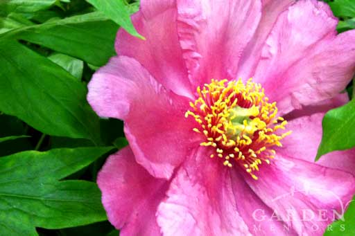 Itoh Peony