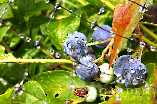 Blueberries under bird netting