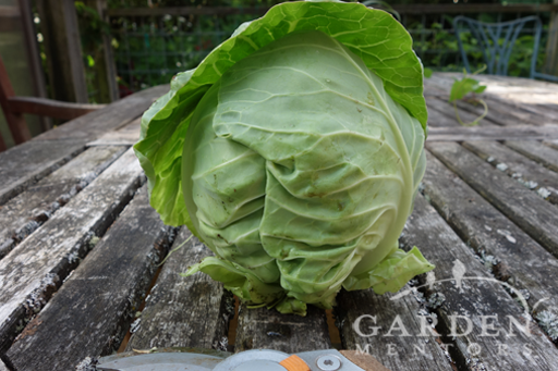 Trimmed Cabbage