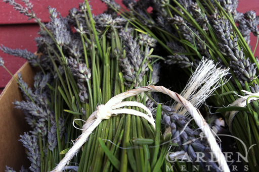 Lavender Bundled & Ready to Hang to Dry