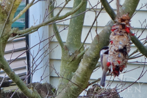 Chickadee on DIY Suet, Seed & Berry Pinecone Bird Feeder