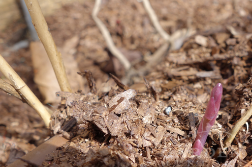 First asparagus shoots emerging in late winter