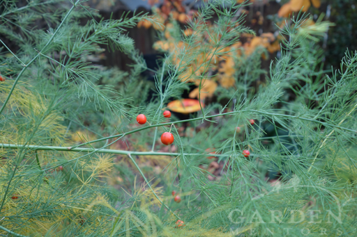Asparagus in Late Summer with Fruits