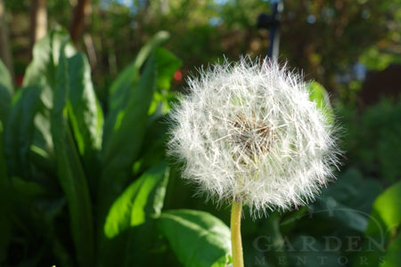 Dandelion: featured on A Dry Rain Podcast