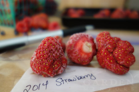 Strawberries ready for freezer