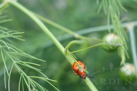 Adult Spotted Asparagus Beetle on Asparagus Frond