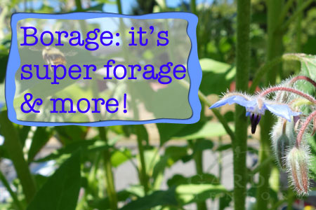 Top Reasons to Grow Borage in Your Garden