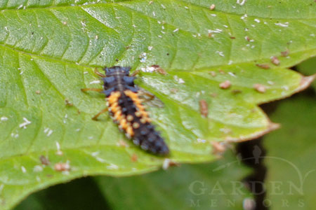 Lady Beetle Aphid Lions