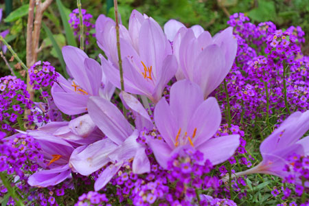 fall crocus or colchicum