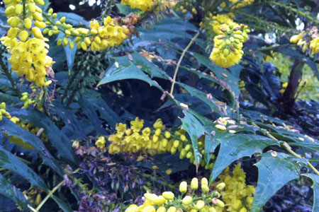 Mahonia in Bloom in January