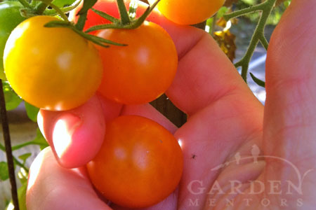 Preserve Sungold Cherry Tomatoes like these