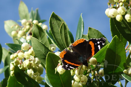 Butterfly feeding on Arbutus unedo in late autumn