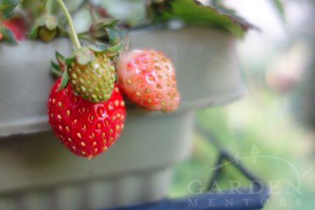 Subscribe for more free garden information on growing food plants like strawberries