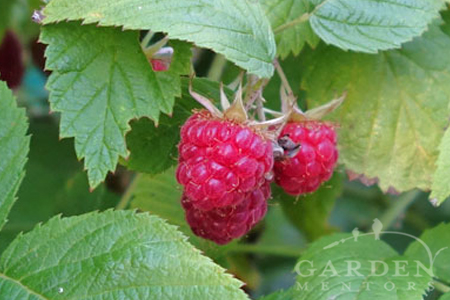 Raspberry discussed on Garden Podcast
