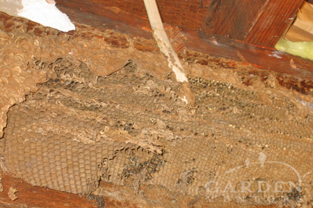 Choose poison free bee removal companies that can repair damaged walls like this.