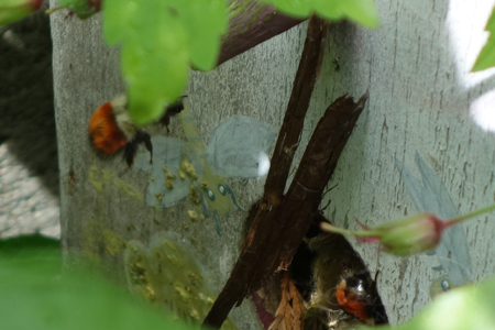 Bumblebee nest in birdhouse rescued in a bee removal
