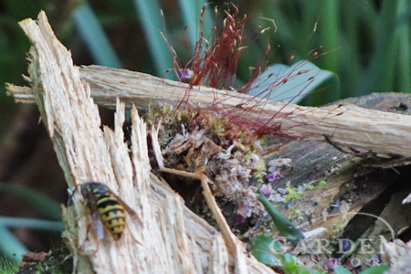 Yellow jackets queen bee removals = one less colony is built