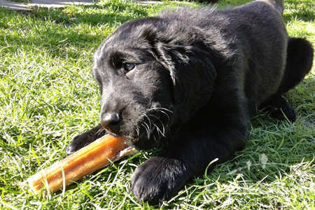 Flat Coat Retriever puppy dog chewing on a treat in the garden