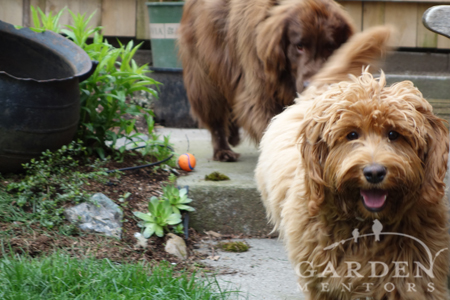 Flat coat retriever dog & labradoodle in garden