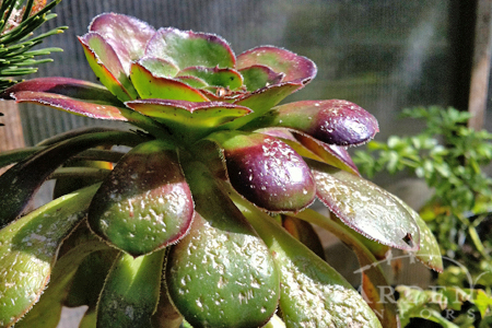 Aeonium hail plant damage