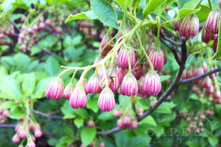 Enkianthus in bloom for May Day.