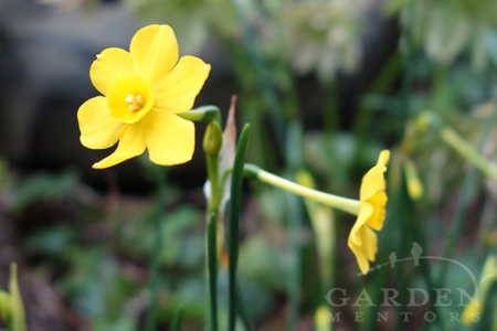 Jonquil in bloom for May Day