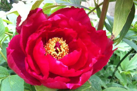Tree peony blooming for May Day