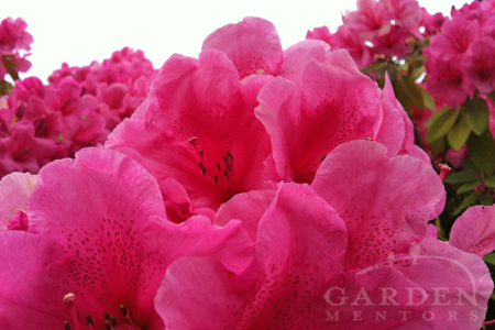 Rhododendron blooming for May Day