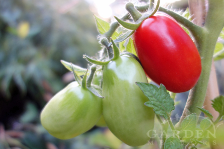 best paste tomatoes to grow