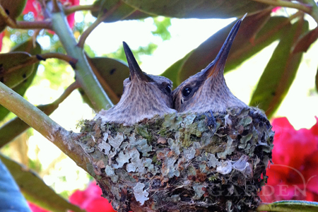Pair of baby hummingbirds just before fledging