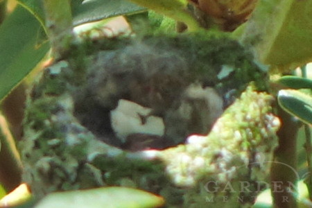 hummingbird nest with hatched egg