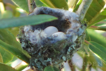 Two eggs in Anna's Hummingbird nest