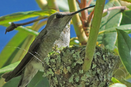 Anna hummingbird perching on nest