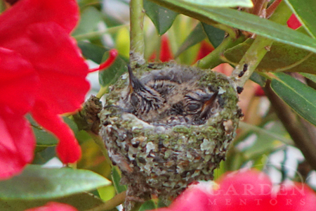 baby hummingbirds in nest at about 12 days old