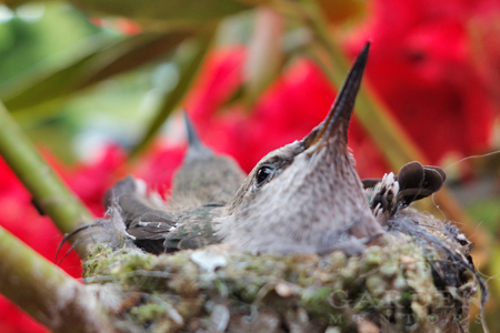 Anna's hummingbird babies with feathers