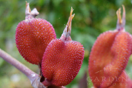 Seed pods in garden