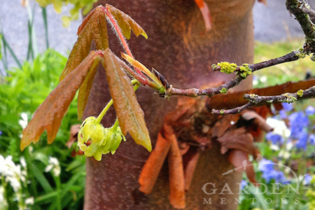 Not only can Acer griseum withstand reflected heat but it thrives in it. Plus these blooms feed bees & hummingbirds in spring