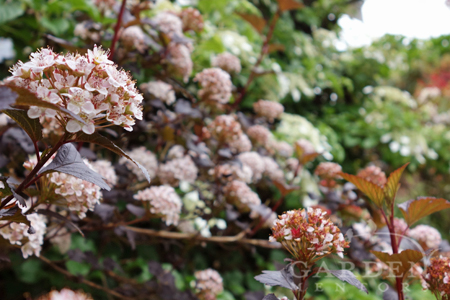 blooming Physocarpus