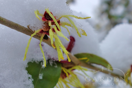 Snow on blooming witch hazel