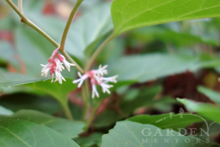 Pachysandra 'Windcliff Fragrant' flower close up