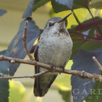 Christmas Bird Count guest: Anna's Hummingbird